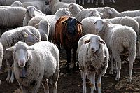 200px-Black_sheep-1
